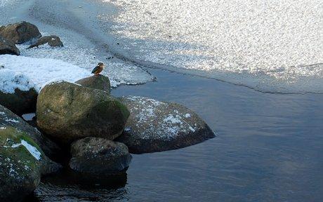 Isfuglen sidder stille på en sten.