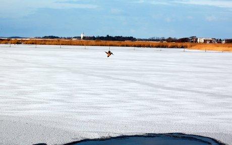 En isfugl over en våge i isen i Ringkøbing Fjord.