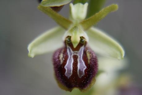 Orchideen der Insel Cres (Kroatien) 5527302_b4cae22b66589c03a3718ec5927cddc2_standard