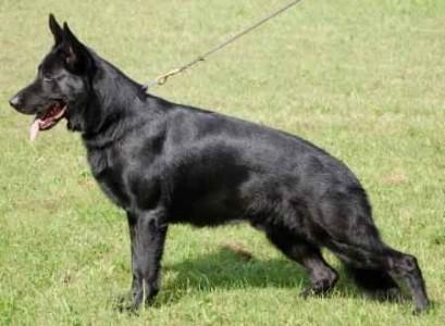 German Shepherd Puppy Training Videos